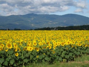 Champ de tournesols -Pilat