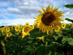 Les tournesols en juilet