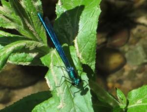 Libellule Caloptéryx vierge mâle