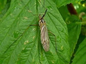 Moustique anophèle