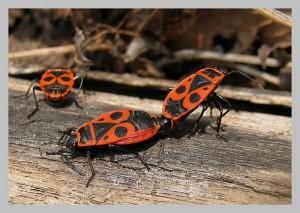 Pyrrhocoris apterus-punaise