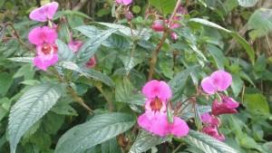 Balsamine de l'himalaya- invasive