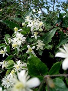 Clématite vigne blanche