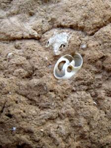 Gastéropode fossile