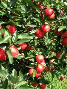 Les pommes de Glay
