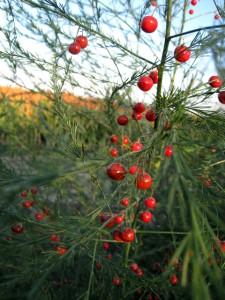 Les plants d'asperges
